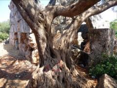 Eeuwenoude olijfboom in Bara